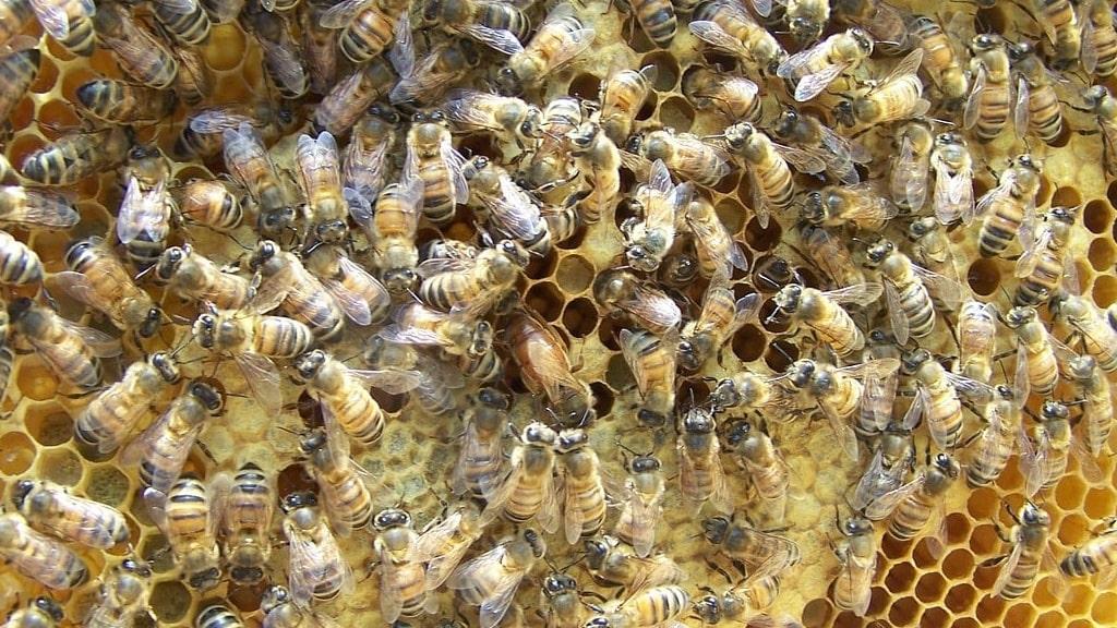 Bees making honey | veganscult.com